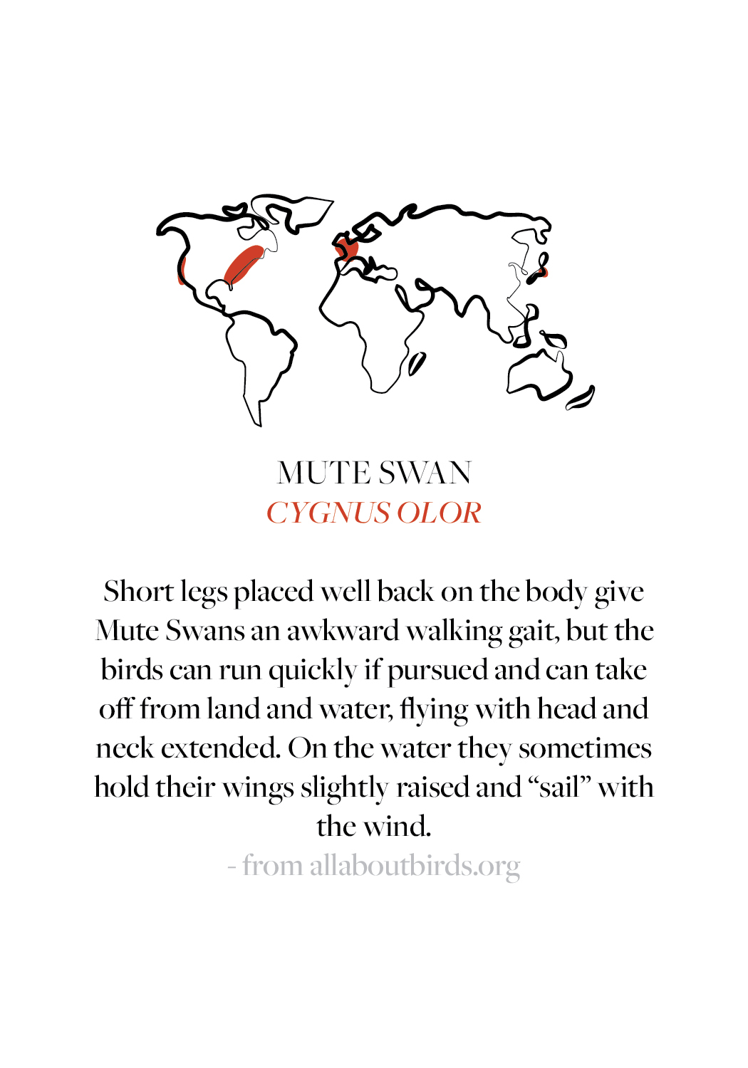 Mute Swan Fun Facts